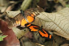 IMG_6095 Acraea peneleos et Acraea bonasia (Raiwen) Tags: butterflies lepidoptera nymphalidae heliconiinae acraeini acraea acraeabonasia acraeapeneleos africa westafrica guinea