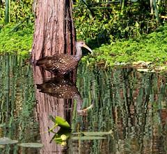 Limpkin and the Cypress Tree (Darts5) Tags: floridabird bird birds limpkin limpkins reflections reflection wadingbird wading 7d2 7dmarkll 7dmarkii 7d2canon ef100400mmlll canon7d2 canon7dmarkll canon7dmarkii canon canonef100400mmlii