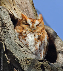 Red Morph Screech Owl (Lebowitz Photography) Tags: red morph screech owl