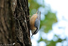 Sittelle torchepot 05 (jean-daniel david) Tags: oiseau sittelle sittelletorchepot nature réservenaturelle arbre bokeh bois closeup feuillage feuille ciel vert