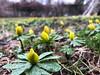 Thursday rain (karenchristine552) Tags: utata:project=flowerpower winteraconite springflowers flowers philadelphia universitycity westphiladelphia urban