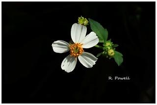 Spanish needles flower