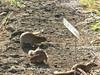 Halona Blowhole & Hanauma Bay Nature Preserve (58) (pensivelaw1) Tags: hawaii oahu halonablowhole hanaumabaynaturepreserve