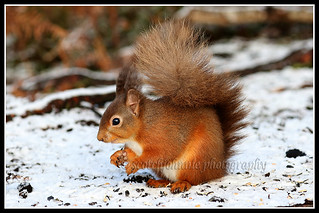 IMG_0204 Red Squirrel