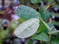 Winter || Couple of Winter . (AL Kafi) Tags: glitteringdew glitteringleaf glitter glittering beautyofbangladesh natural nature dew dewonleaf greenleaf leaf