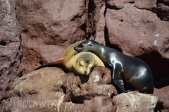 Relax time (Rudy WTK) Tags: seals sealion relax sea mexico animals lovelyanimals nature wildlife nikon d5100