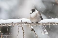 Winter Gray Jay (Stephen J Stephen) Tags: algonquinpark algonquinprovincialpark avian canadajay corvidae grayjay greyjay whiskeyjack winter