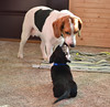Are you my Auntie? (Mulewings~) Tags: dogsiknow pets fun cute puppies beagle angel charlie