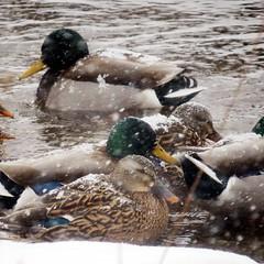 IMG_4989 (kennethkonica) Tags: nature birds animalplanet animal animaleyes autumn canonpowershot canon usa america midwest indianapolis indiana indy color outdoor wildlife weather ducks waterfowl creek