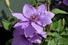 Clematisblüte (Sockenhummel) Tags: altensteinstrase kga königlichegartenakademie clematis violett lila blüte royalgardenacademy flower blossom