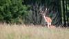Red Deer Brocket (The Wasp Factory) Tags: reddeer rotwild reddeerbrocket brocket junghirsch spieser wildparkneuhaus wildpark neuhaus solling tierpark wildlifepark