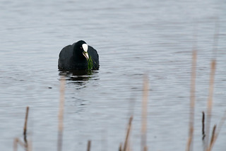 A Coot's Breakfast