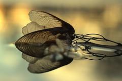 pause (joy.jordan) Tags: puddle maplekey texture reflection light sunset bokeh nature