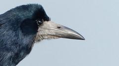 Rook (Tom Kennedy1) Tags: corvusfrugilegus rook corvids corvidae crows irishwildlife