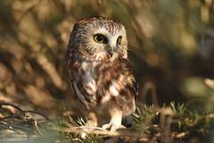 Northern Saw-Whet Owl (aj4095) Tags: northern saw whet owl nature wildlife outdoor bird tree