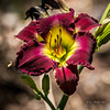 Out on its own (idunbarreid) Tags: lily