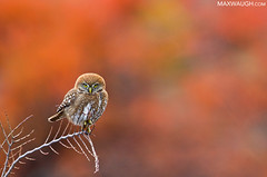 Best of 2017: Austral Pygmy Owl (Max Waugh Photography) Tags: australpygmyowl glaucidiumnana chile patagonia southamerica torresdelpainenationalpark animal avian bird birdofprey brown cute nature predator small tiny wildlife spotted autumn fall foliage colors colorful red patagonia17 maxwaugh topf25 topf50