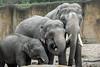 Asiatic Elephants (K.Verhulst) Tags: wildlandsadventurezoo wildlands emmen olifanten olifant aziatischeolifant elephant asiaticelephants
