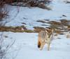 024A9903 (scepdoll) Tags: baldeagle grandtetonnationalpark jackson jacksonhole kelly wyoming backlitcoyote bisoncrossing bisoninheadlights coyote moose owl snow winter unitedstatesofamerica
