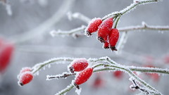 Frosty Days (jurgenkubel) Tags: frost rimfrost winter vinter rosehips nypon hagebutten snö snow schnee
