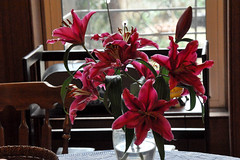 lily (greenelent) Tags: flowers lily winter pink brooklyn nyc 365 photoaday