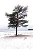 Tuulen tuivertama (Olli Tasso) Tags: yyteri pori suomi finland puu mänty pine beach ranta hiekkaranta meri sea snow talvi lumi winter landscape maisema scenery nature outdoors lonely tuulinen tuuli tuiverrus