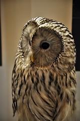 owl6 (2) (Ecophotoni) Tags: owl barred strix varia wildlife nature conservation prey bird raptor