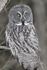 Great Gray Owl (jrlarson67) Tags: great gray owl strix nebulosa chouette lapone portrait sax zim bog closeup wild wildlife nature animal bird raptor nikon d500 600mmf4