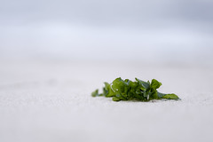 Strandgut (blichb) Tags: 2018 deutschland insel nationalparkwattenmeer nordsee schleswigholstein sonya7rii sylt wattenmeer zeiss zeissbatis1885 blichb closeup zwischenring strand alge strandgut