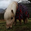 My Little Pony (RoystonVasey) Tags: canon eos m 1855mm stm zoom cumbria lake district ldnp buttermere shetland pony small horse