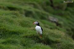 Lundi (dieLeuchtturms) Tags: lunde 3x2 ingólfshöfði europa austurland island regenpfeiferartige wirbeltiere alkenvögel skeiðarársandur papageitaucher europe fraterculaarctica iceland puffin is