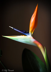 Crying Bird of Paradise (christelerousset) Tags: proxi fleurs fleur flower birdofparadise oiseauduparadis oiseau bird paradise paradis exotique plante orange pleurer cry crying tears hiver winter