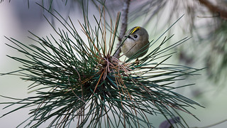 a Goldcrest hidden in a tree