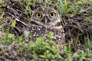FL: Burrowing Owl