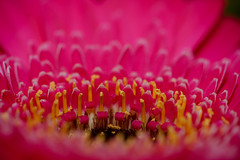 Flowers-6 (Steve Mo) Tags: flowers canon 70d 100mm macro pink roses plants plantlife abstract bokeh