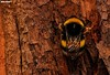 Rest of the bumblebee (Mauro Hilário) Tags: nature macro insect bug portugal wildlife bee closeup detail composition bombus terrestris bumblebee hairy animal tree