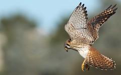 Kestrel Hen (gilamonster8) Tags: kestrel bird animal hawk falcon raptor 7dmarkii eyes explore eos explored ef400mm56l flight flickrelite fly wing tail talons tucson ngc
