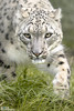 SCO1420 (ScottD Photography) Tags: animal big cat snow leopard portrait eye contact emotion beautiful wildlife heritage foundation uk nikon d800 carnivore mammal
