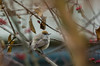 Fauvette à tête noire (JeanJoachim) Tags: passeriformes sylviidae oiseau bird vogel aves uccello fågel fugl pássaro バード lintu птица ptak mönchsgrasmücke fauvetteàtêtenoire sylviaatricapilla eurasianblackcap pentaxk10d smcpentaxf300mmf45edif