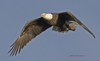 Bald Eagle With A Duck