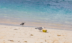 Bahamas (davebentleyphotography) Tags: canon6d 2017 bahamas beach canon cruise travel tropical vacation seagull beachlife ocean bluewater