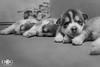 """Aún despierto"" (Dog Alphas) Tags: nikond7200 lentenikonnikkorafs1855mm13556giidxvr vr rawquality dogalphas alphapals photoshoot sesiónfotográfica fotografíademascota petphotography siberianhusky perros dogs cachorros puppies pequeños ternura cute dormidos sleeping blancoynegro blackandwhite agendatusesión"