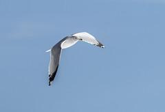 Ring Billed Gull In Flight (John Kocijanski) Tags: ringbilledgull gull bird wings flight animal wildlife nature canon70300mmllens canon7d