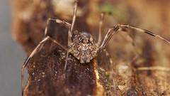 Platybunus triangularis (David_W_1971) Tags: arachnids jow2018