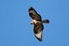 Buzzard (Simon Stobart) Tags: buzzard flying buteobuteo scotland naturethroughthelens coth5 ngc npc