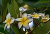 Yellow and White Frangipani Flowers (Merrillie) Tags: frangipani woywoy flowers closeup floral newsouthwales nsw summer beautiful flower gardens flora australia nature frangipanis yellow tropical coastal
