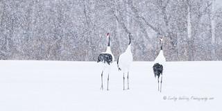 Trio of Cranes in Snow