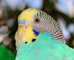 Only One, Must Be a Singlekeet (Darts5) Tags: upclose parakeet bird birds parakeets 7d2 7dmarkll 7dmarkii 7d2canon ef100l closeup canon7d2 canon7dmarkll canon7dmarkii canon canonef100l
