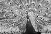Tausend Augen (_LABEL_3) Tags: animals pfau tiere vögel peacock