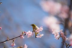 _DSC0846.jpg (plasticskin2001) Tags: mejiro sakura flower bird